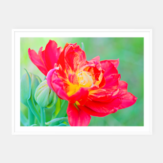 Thumbnail image of Unusual macro tulip over green background Framed poster, Live Heroes