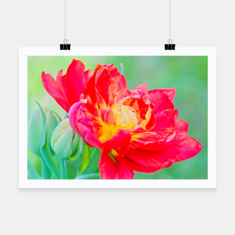 Thumbnail image of Unusual macro tulip over green background Poster, Live Heroes