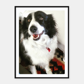 Thumbnail image of Border collie, Live Heroes