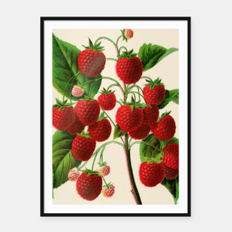 Thumbnail image of  Canadian Horticulturalist 1888-96 - Raspberries Framed poster, Live Heroes