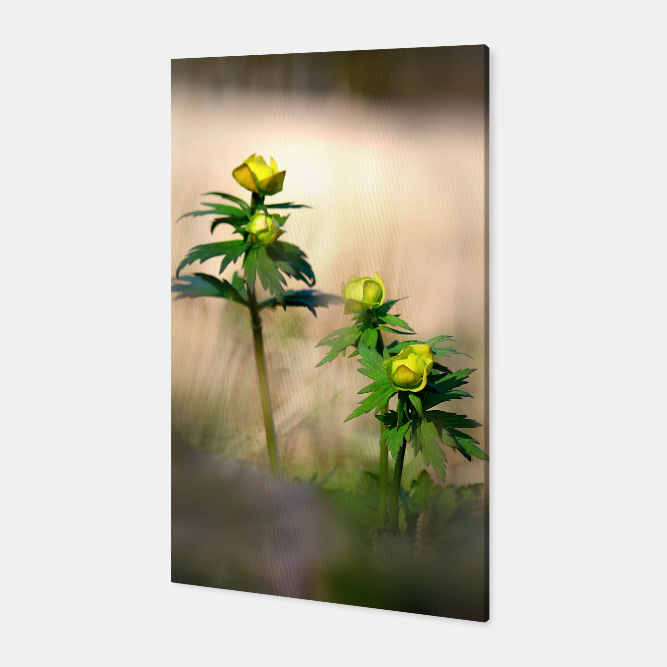 Image of Globeflower Canvas - Live Heroes
