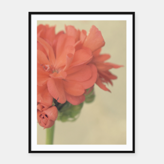 Miniature de image de Close-up Zonal Pelargonium Flower Framed poster, Live Heroes