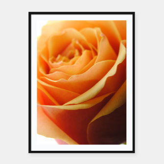Thumbnail image of Orange Rose on White Framed poster, Live Heroes