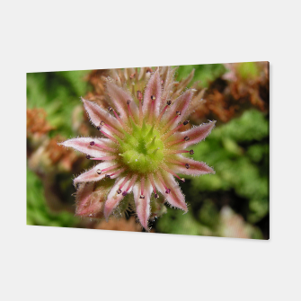 Thumbnail image of Echeveria Canvas, Live Heroes