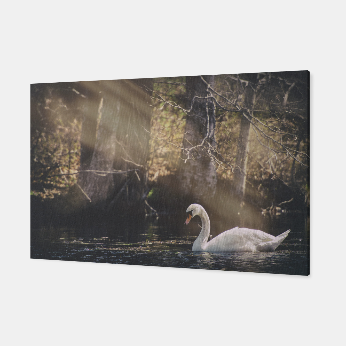 Image of swan #1 Canvas - Live Heroes