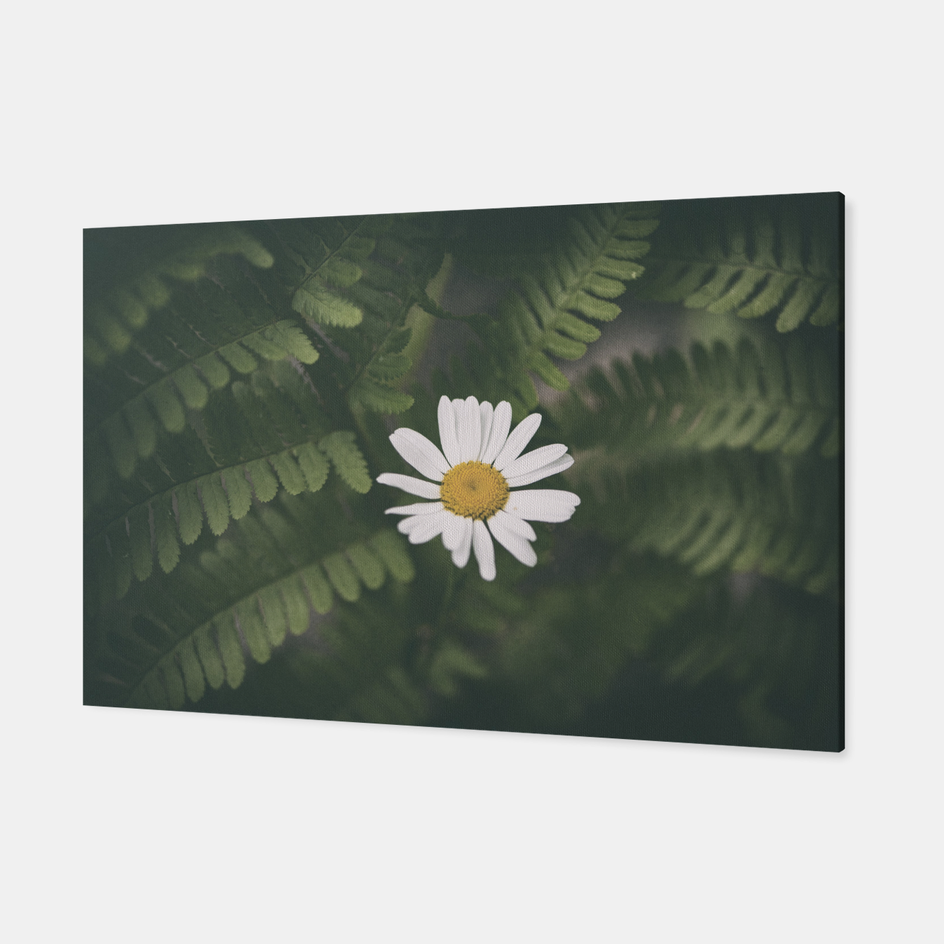 Image of daisy #1 Canvas - Live Heroes