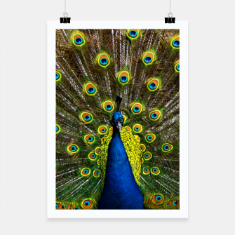 Colorful peacock Poster thumbnail image
