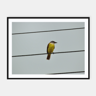 Great kiskadee Framed poster thumbnail image