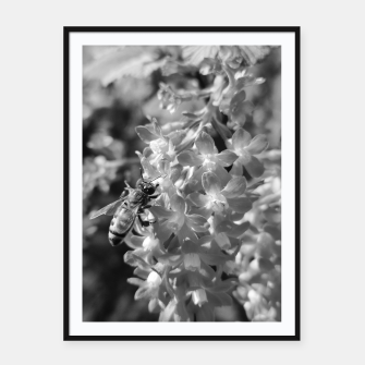 Miniaturka Bee and Blood Currant Ribes Sanguineum bw Framed poster, Live Heroes