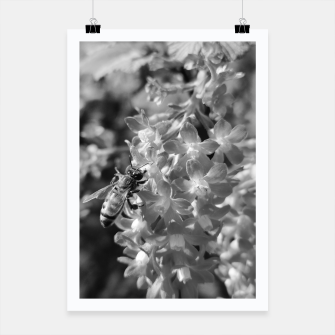 Miniaturka Bee and Blood Currant Ribes Sanguineum bw Poster, Live Heroes