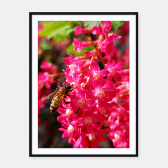 Miniaturka Bee and Blood Currant Ribes Sanguineum std Framed poster, Live Heroes