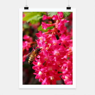 Miniaturka Bee and Blood Currant Ribes Sanguineum std Poster, Live Heroes