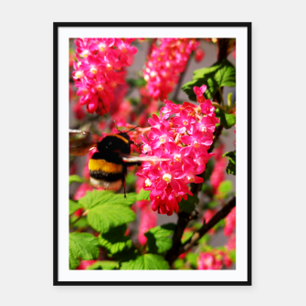 Miniaturka Bumble Bee and Blood Currant Ribes Sanguineum std Framed poster, Live Heroes