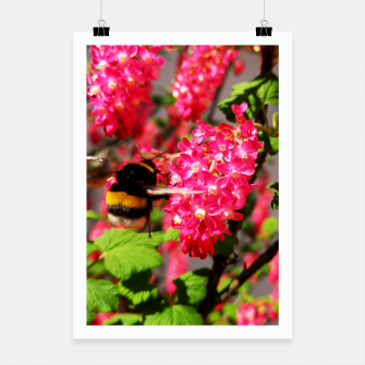 Miniaturka Bumble Bee and Blood Currant Ribes Sanguineum std Poster, Live Heroes