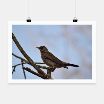 Miniature de image de Fieldfare on a branch Poster, Live Heroes