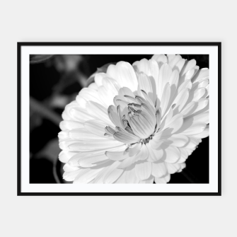 Miniatur White blossoming chrysanth, black and white flower photography Framed poster, Live Heroes