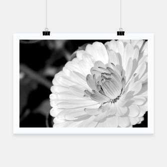 Thumbnail image of White blossoming chrysanth, black and white flower photography Poster, Live Heroes