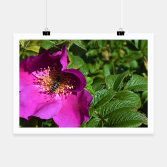 Thumbnail image of  wild rose with bee Plakat, Live Heroes